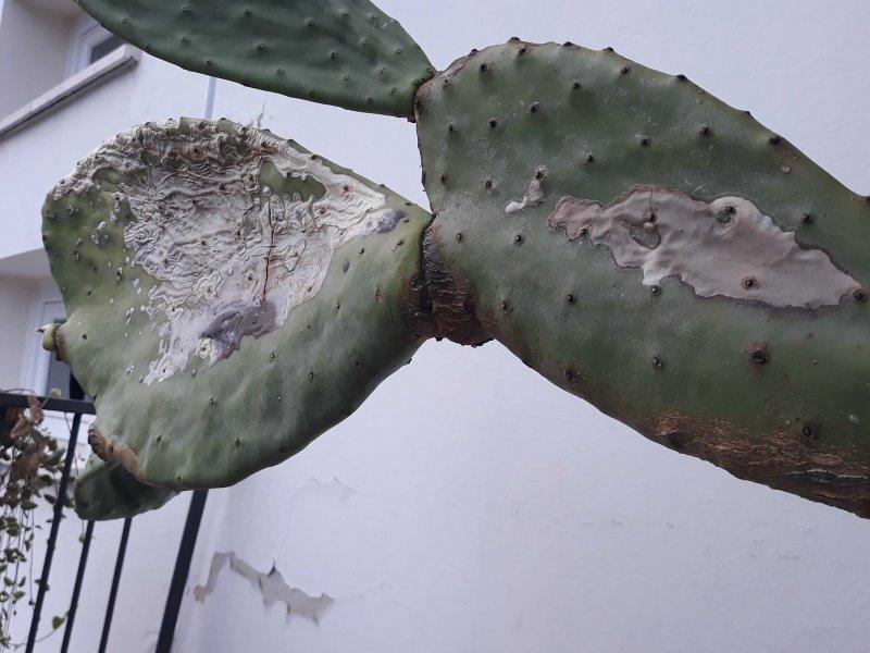 Opuntia opuntia ficus-indica