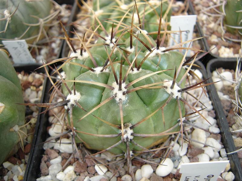 Gymnocalycium achirasense v. chacrasense LB 362