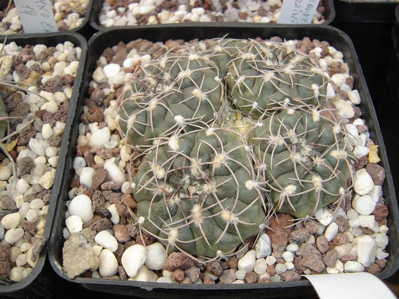 Gymnocalycium alboareolatum P382A