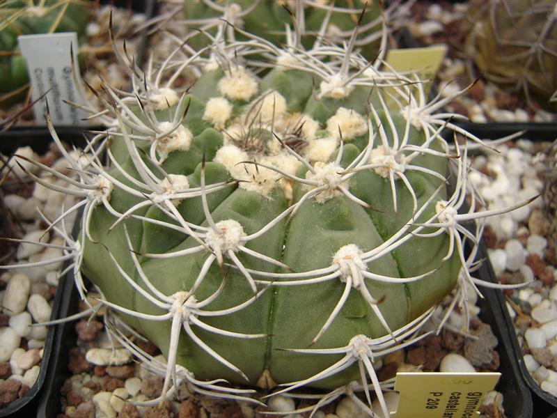 Gymnocalycium castellanosii P 209