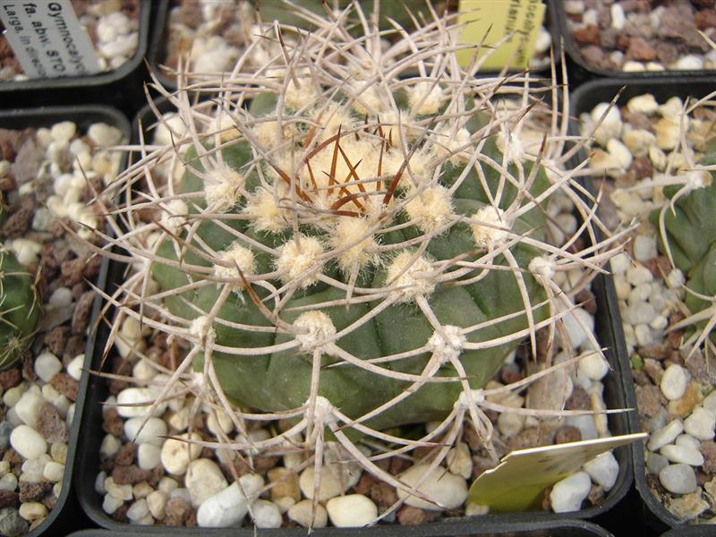 Gymnocalycium castellanosii B 79