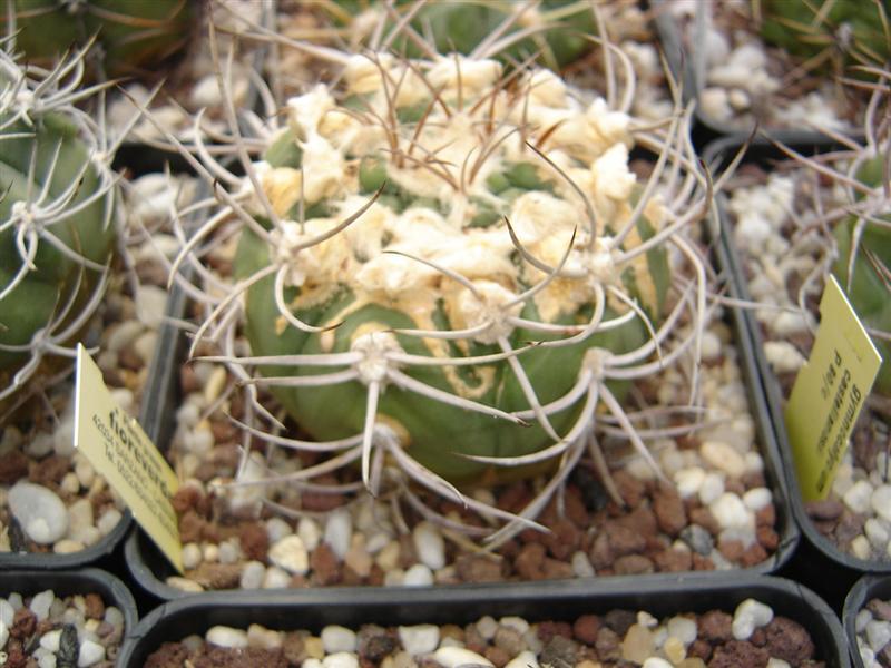Gymnocalycium castellanosii P 80c