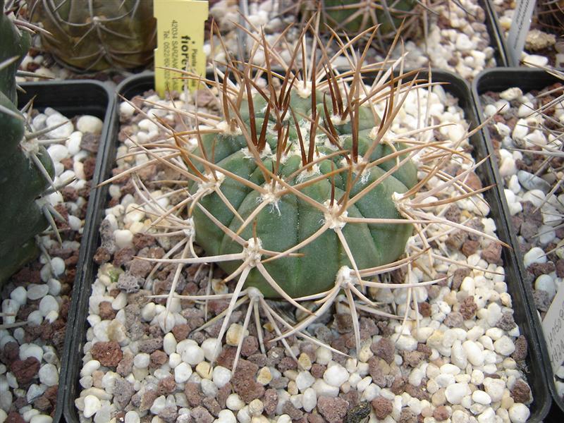 Gymnocalycium mazanense v. polycephalum P 223