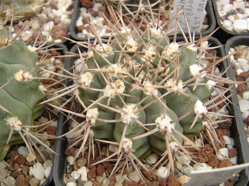 Gymnocalycium ochoterenae v. scoparium LB 383