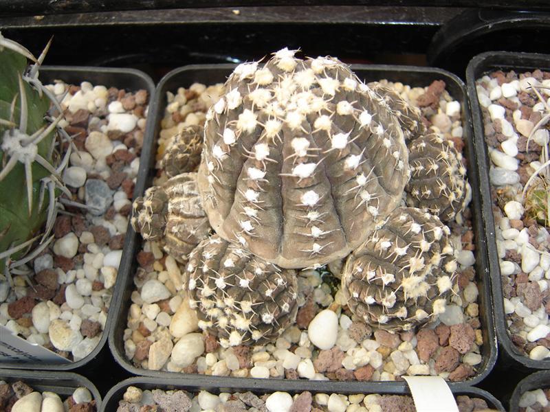Gymnocalycium ragonesei R 224