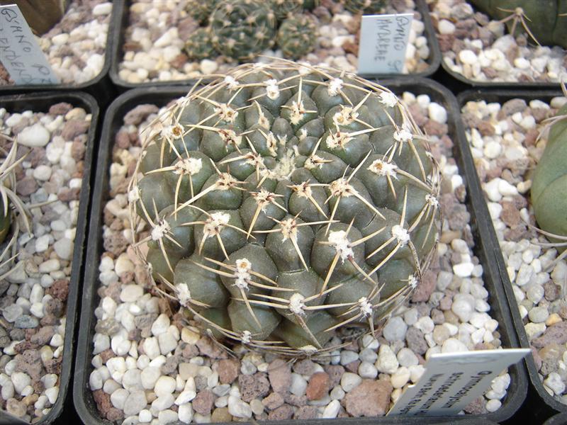 Gymnocalycium schroederianum HU 1425