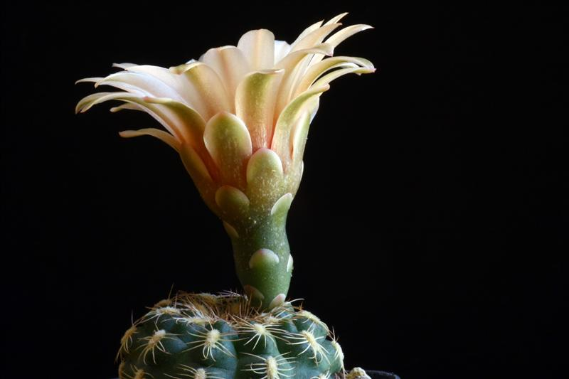 Gymnocalycium parvulum ssp. huettneri