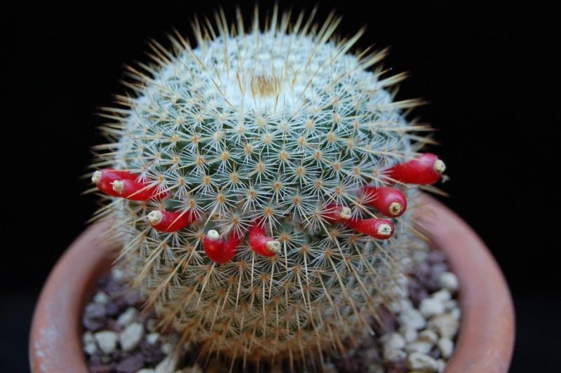Mammillaria aff. conspicua ROG 351