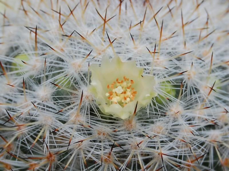 Mammillaria halbingeri