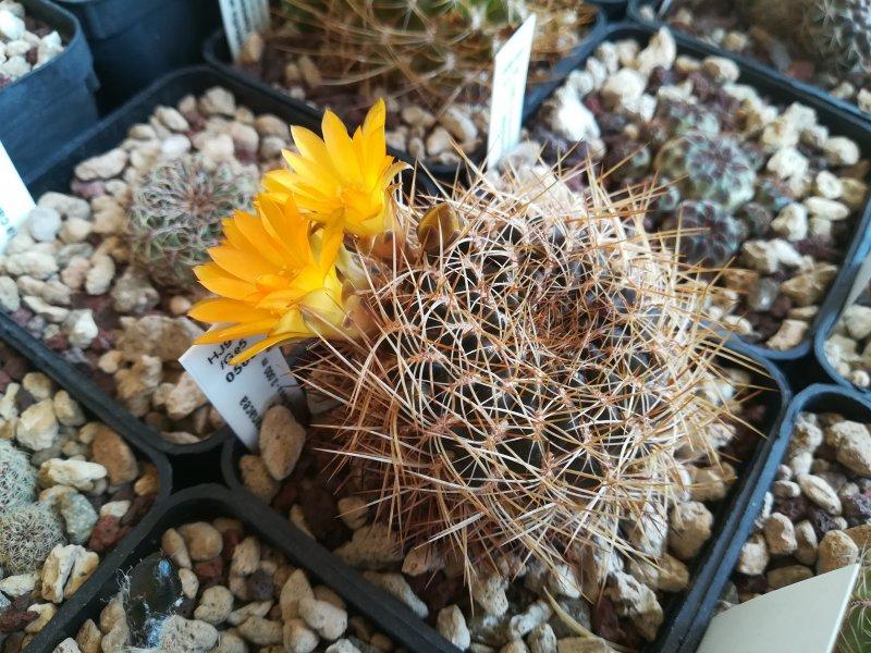 Sulcorebutia arenacea v. candiae HJ942/Ge5