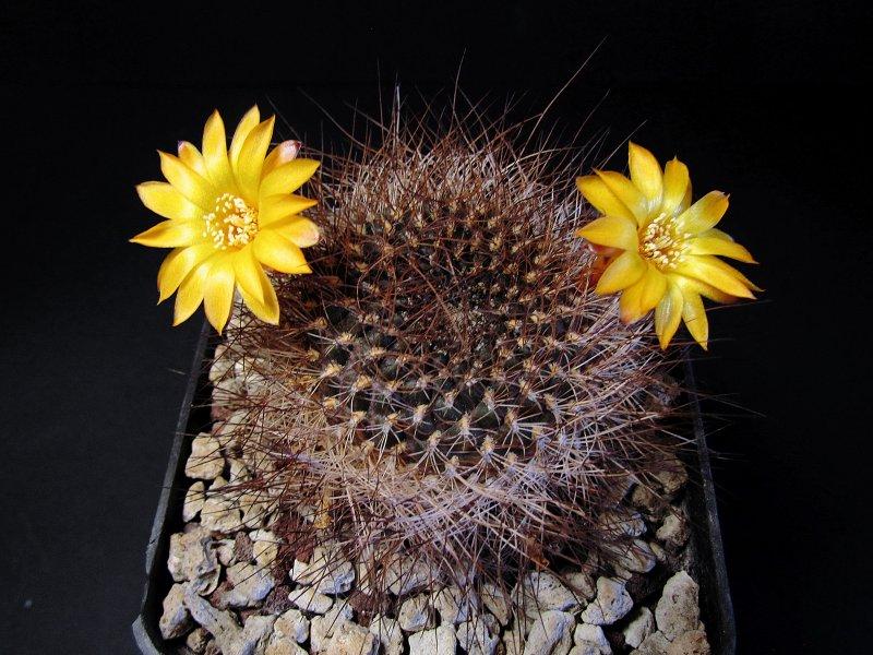 Sulcorebutia arenacea v. menesesii HJ940/Ge7