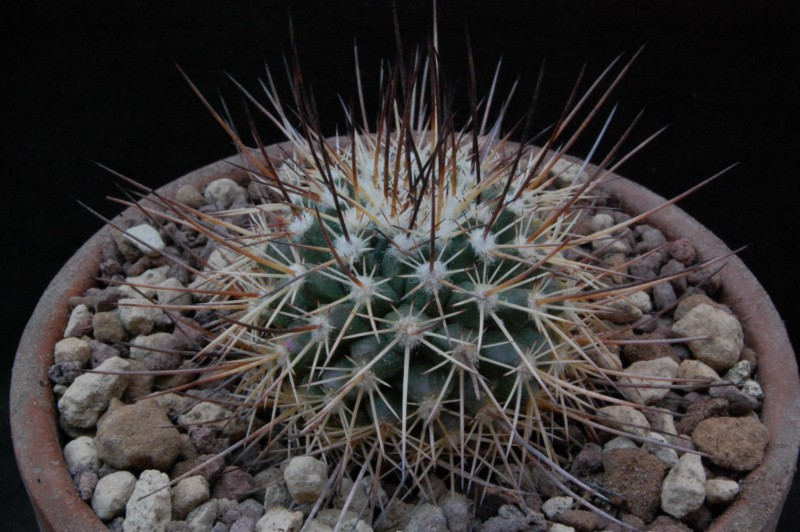 Mammillaria papasquiarensis HO 511a
