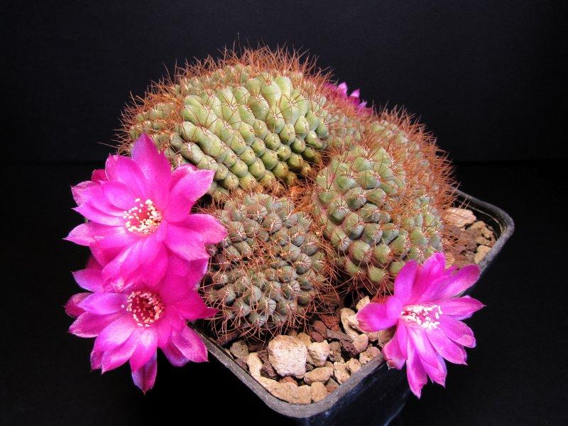 Sulcorebutia callichroma v. longispina HS78a/Fi2