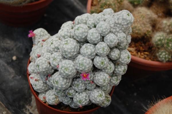 Mammillaria humboldtii