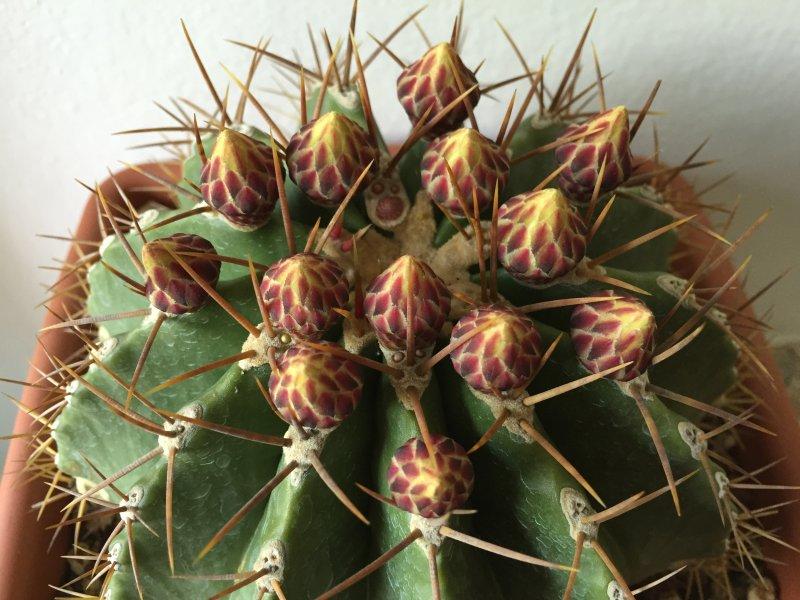 Ferocactus schwarzii