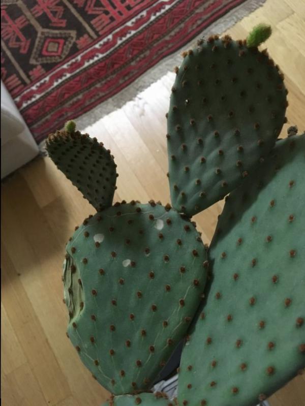 Fico d' induat cactus