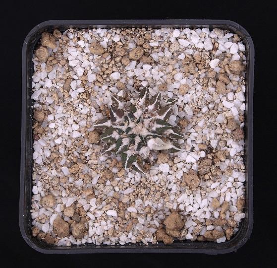Ariocarpus kotschoubeyanus v. albiflorus MMR1