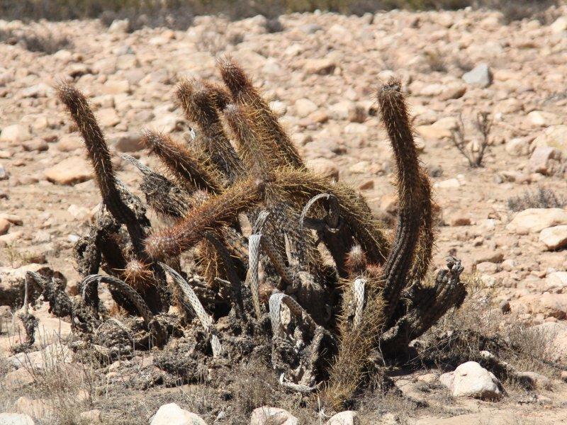 Haageocereus chilensis