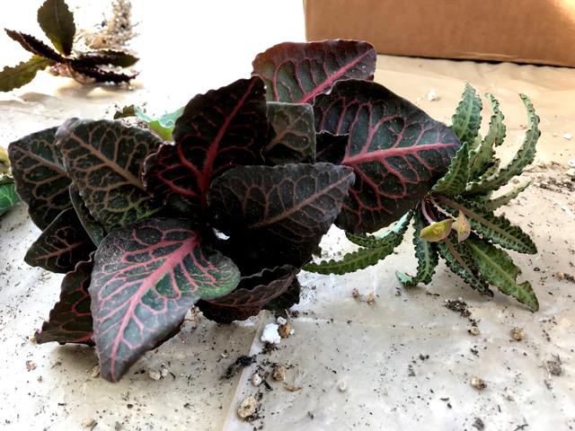 Euphorbia francoisii v. crassicaulis