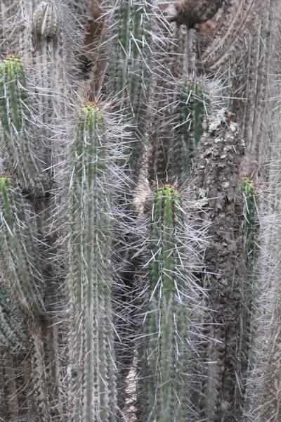 Eulychnia taltalensis