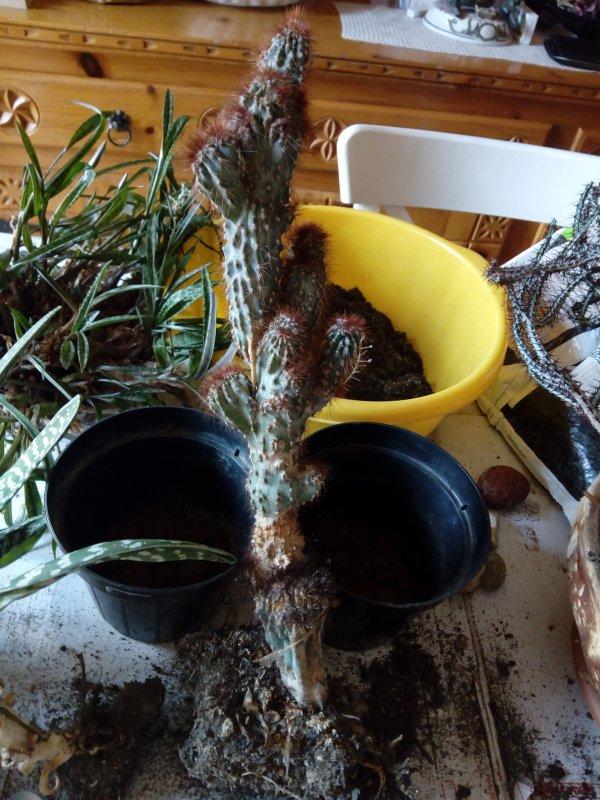 Cereus peruvianus?