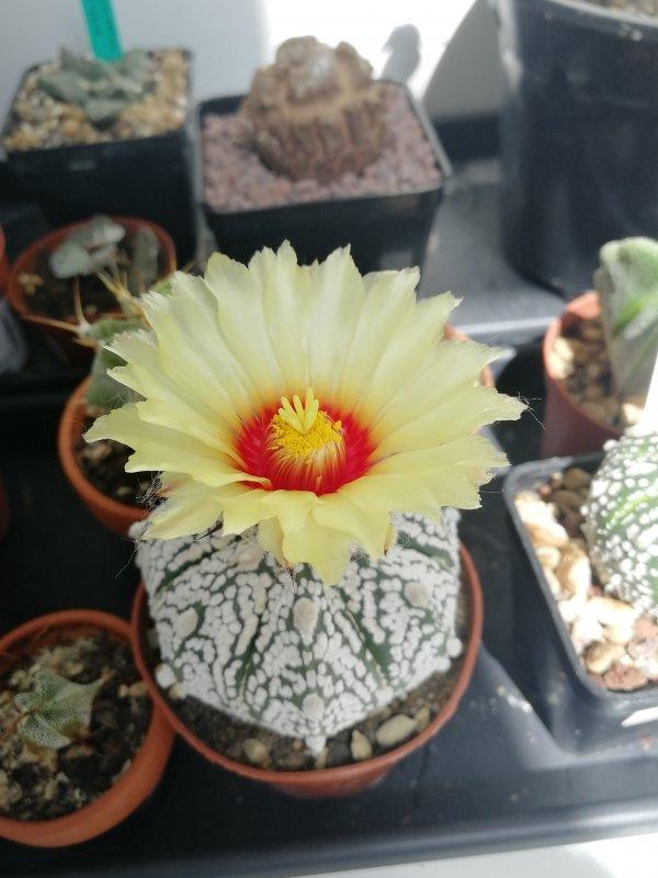 Astrophytum asterias cv. super kabuto