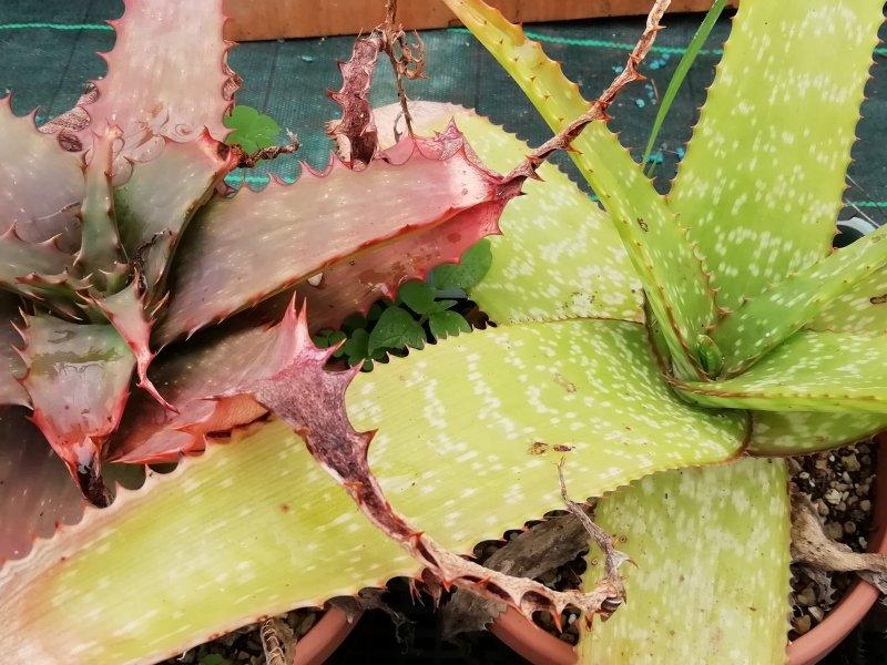 Aloe dyeri ed ibrido affinis