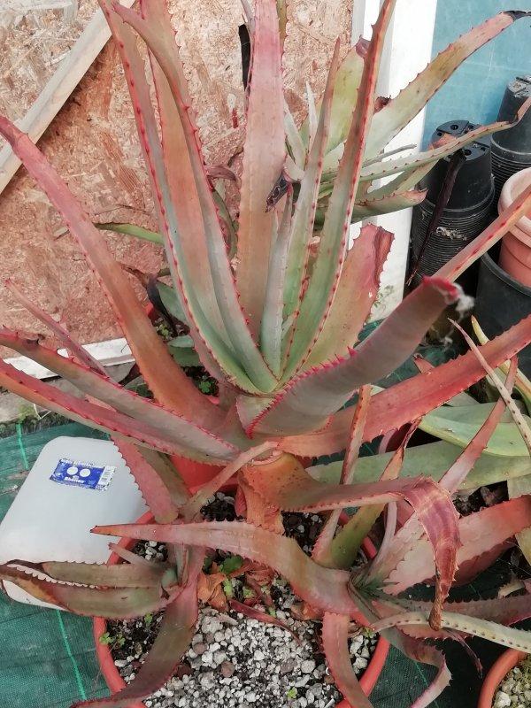 Aloe divaricata