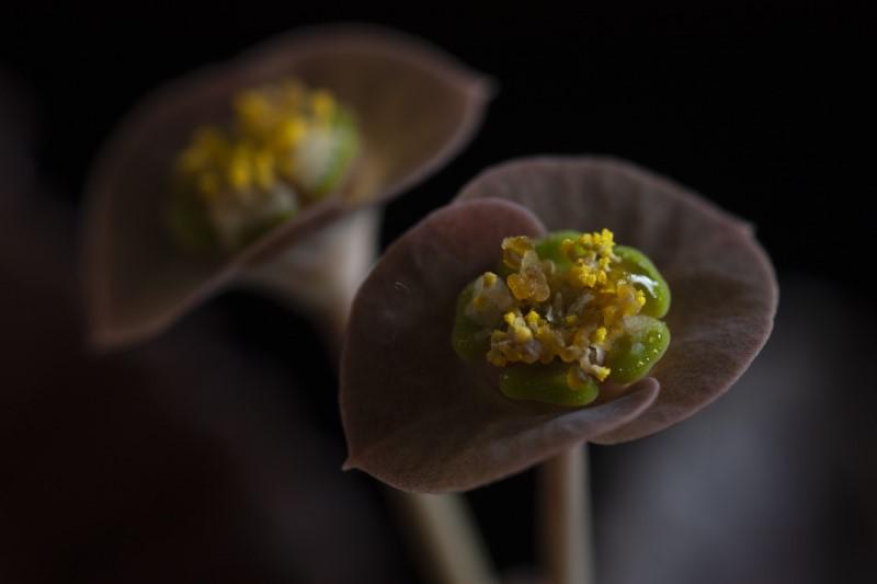 Euphorbia francoisii v. crassicaulis f. rubrifolia