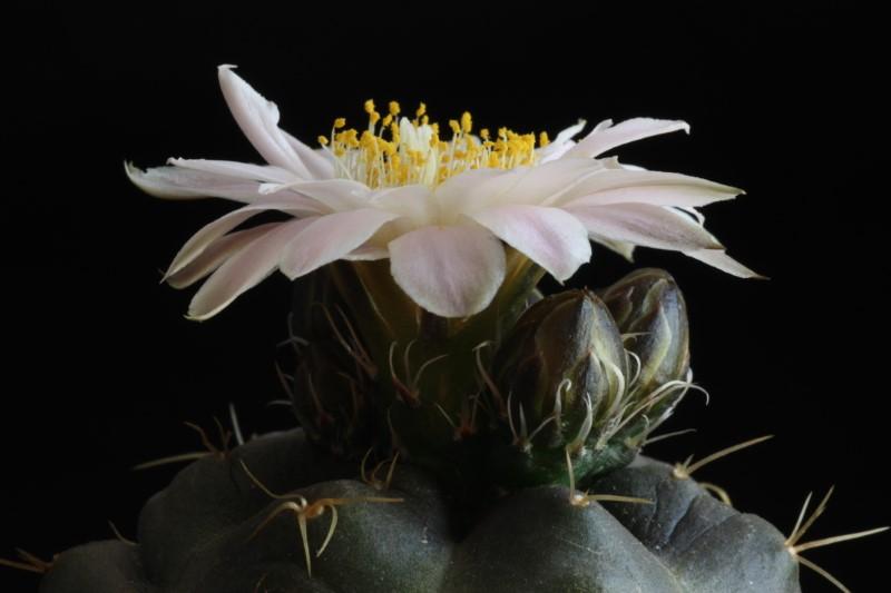 Echinocereus knippelianus ssp. kruegeri