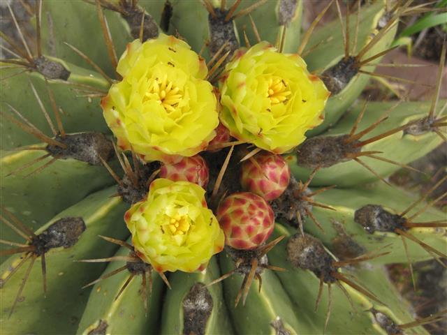 Ferocactus echidne