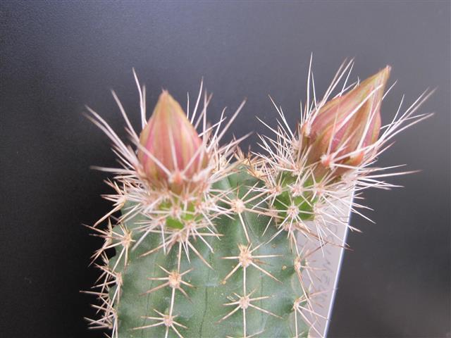Echinocereus coccineus ssp. rosei