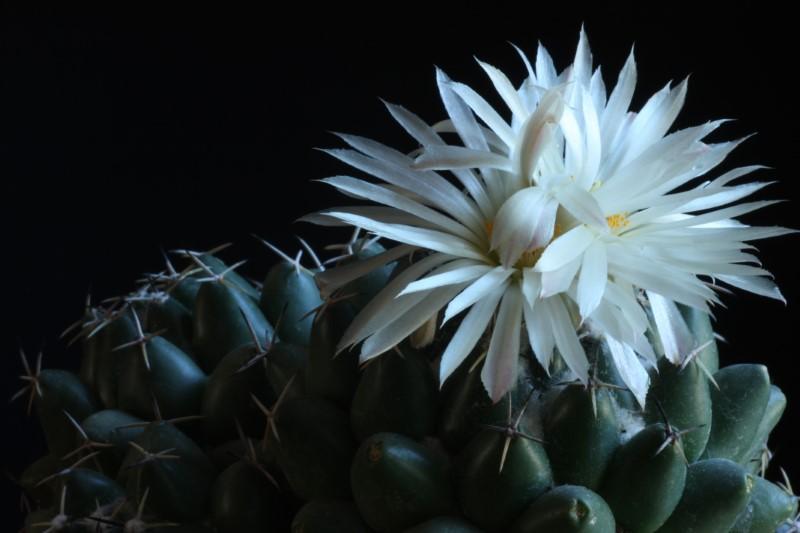 Coryphantha maiz-tablasensis