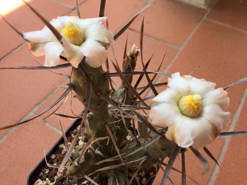 Tephrocactus papyracantha f. black spines