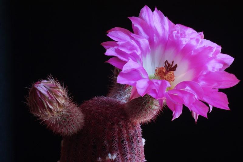 Echinocereus rigidissimus ssp. rubispinus