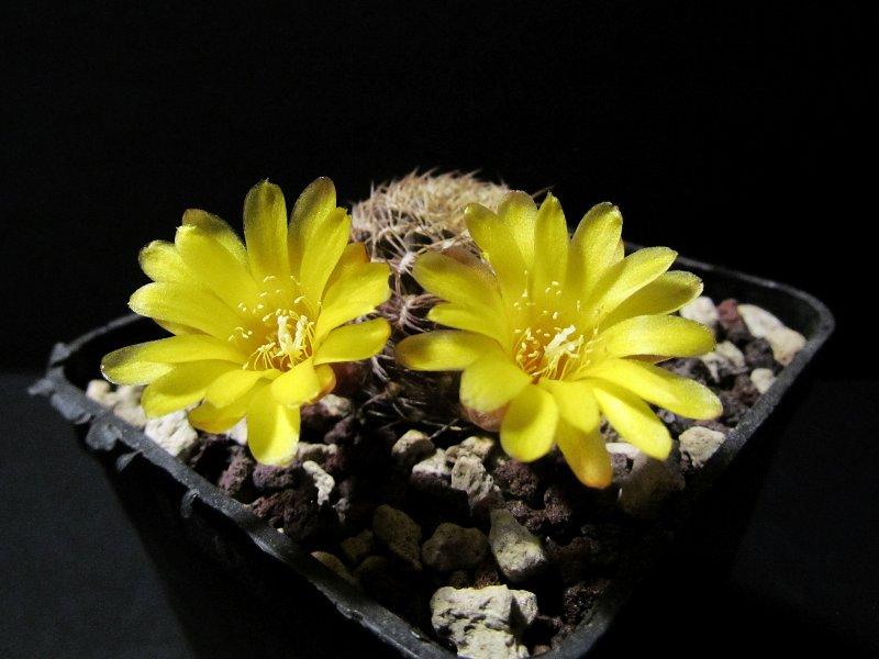 Sulcorebutia breviflora v. haseltonii L980