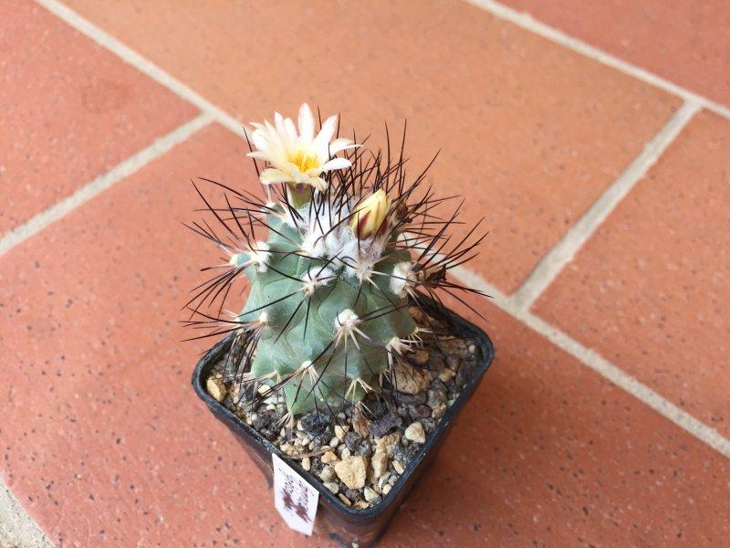 Gymnocactus gielsdorfianus