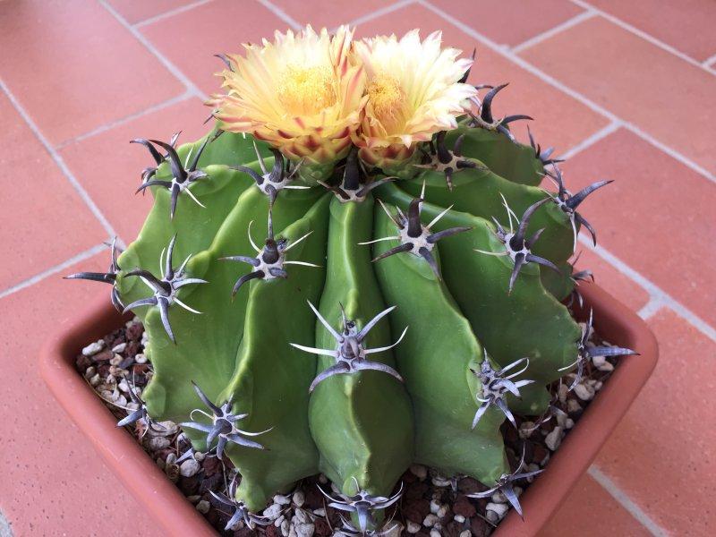 Ferocactus wislizeni ssp. herrerae v. brevispinus