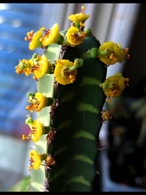 Euphorbia borenensis