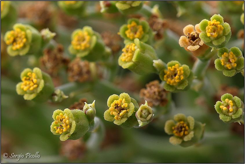 Euphorbia meloformis