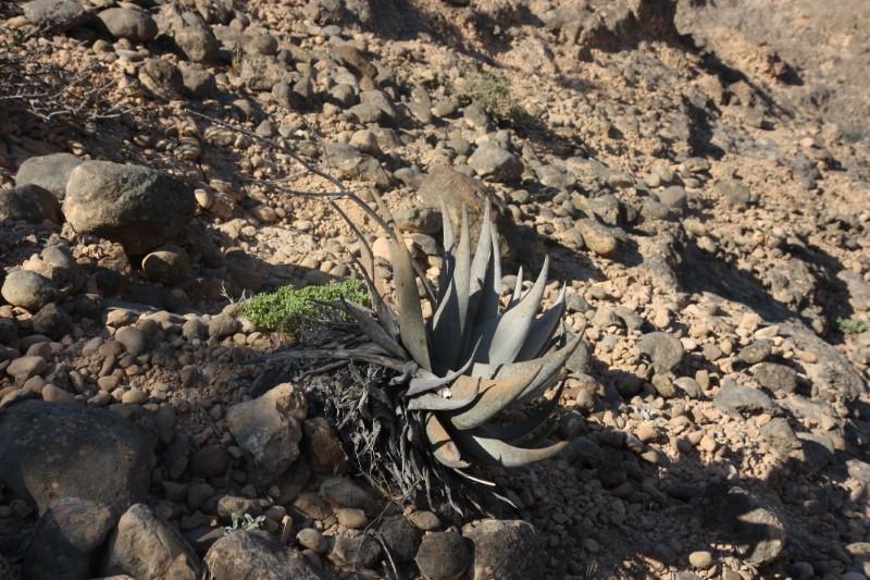 Aloe dhufarensis