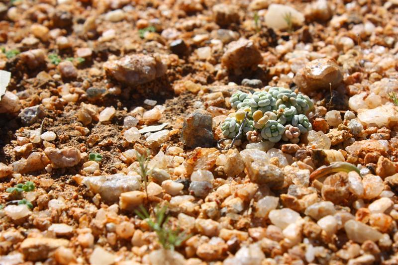 Crassula corallina