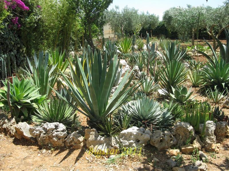 Cactofili forum di cactus e succulente leggi argomento agave collection 2011 - Giardini rocciosi immagini ...