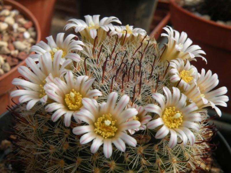 Mammillaria jaliscana ssp. zacatecasensis SB 432