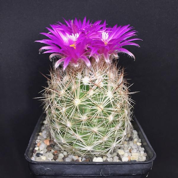 Escobaria vivipara v. neomexicana SB52