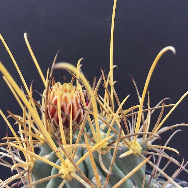 Glandulicactus uncinatus ssp. wrightii SB341