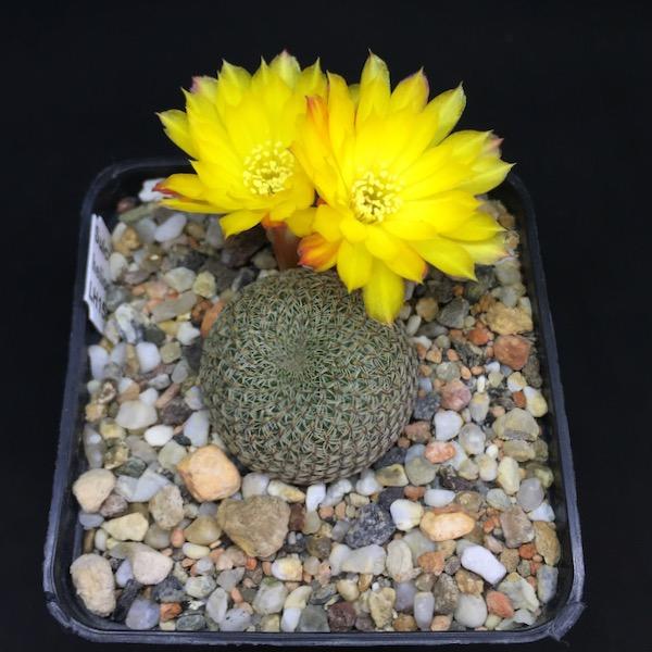Sulcorebutia heliosoides LH1544