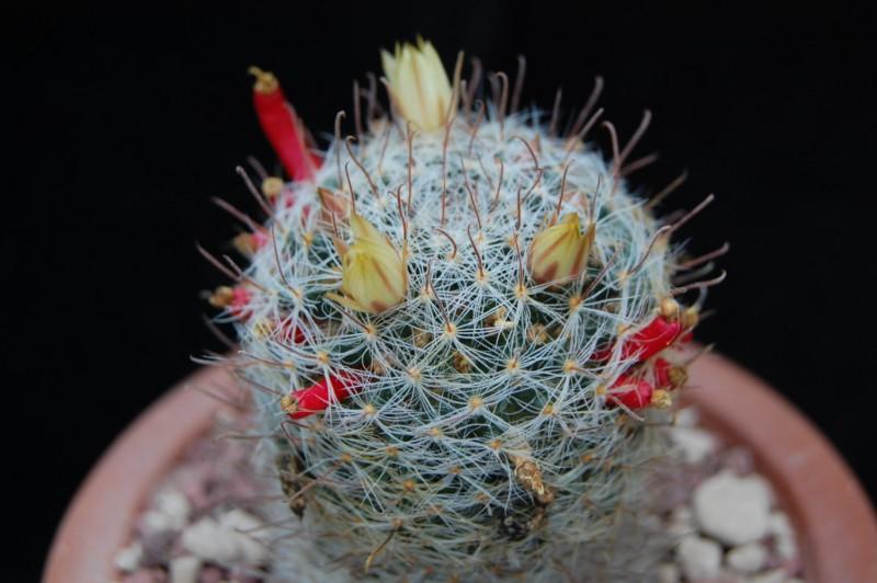Mammillaria nana K 274