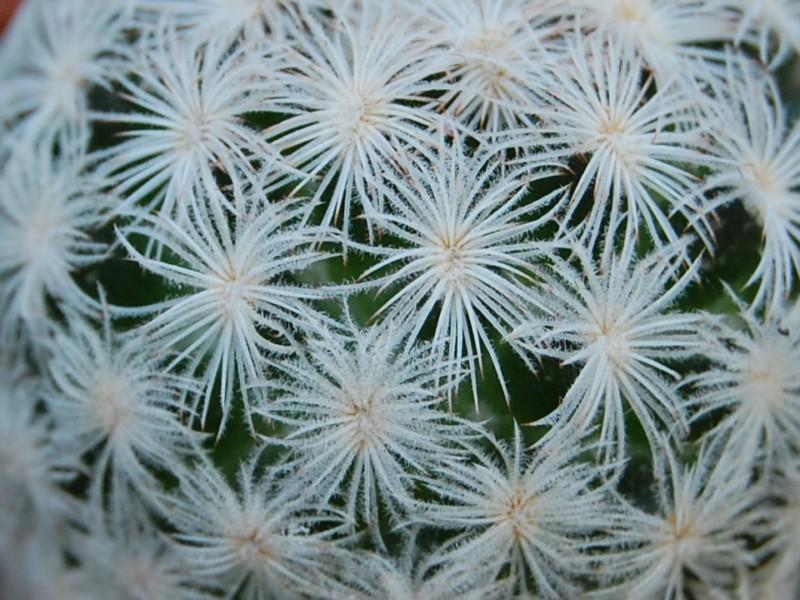 Mammillaria lasiacantha MZ 185