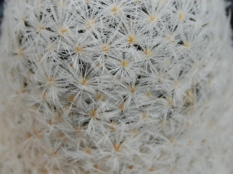 Mammillaria lasiacantha SB 500